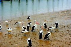 Baccello dei pellicani Fotografia Stock