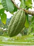 Baccello del cacao fotografia stock