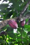 Baccello del cacao sull'albero immagini stock libere da diritti