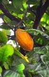 Baccello del cacao sull'albero fotografia stock libera da diritti
