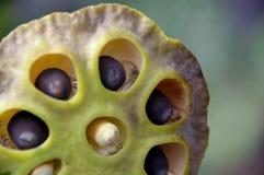 Baccello del fiore di loto Immagini Stock Libere da Diritti