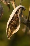 Baccello del Milkweed Immagini Stock