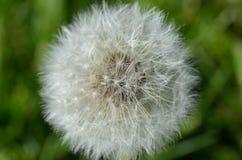 Baccello del seme del dente di leone nella macro Fotografie Stock
