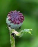 Baccello del seme di papavero Fotografia Stock