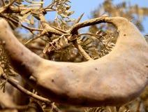 Baccello dell'acacia Fotografia Stock