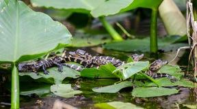Baccello dell'alligatore del bambino Immagini Stock Libere da Diritti