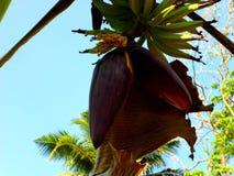 Baccello della banana Immagini Stock Libere da Diritti
