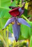 Baccello della palma della banana Immagine Stock Libera da Diritti