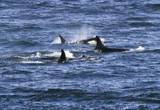 Baccello delle orche Immagini Stock Libere da Diritti