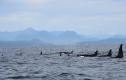 Baccello delle orche residenti della costa vicino a Sechelt, BC immagini stock libere da diritti