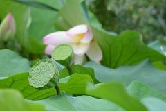 Baccello di Lotus Fotografia Stock