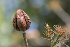 Baccello di mogano Fotografia Stock Libera da Diritti