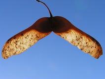 Baccello di pisello Fotografia Stock