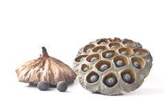 Baccello secco del seme del loto Fotografia Stock