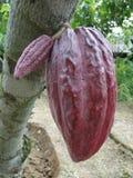 Baccello viola del cacao Fotografia Stock Libera da Diritti