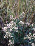 Male Baccharis Halimifolia Plant in the Fall. Stock Photos