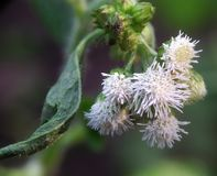 Baccharis Salicifolia or commonly called Mule fat flower looks beautiful and elegant like flowers in Japan. stock image