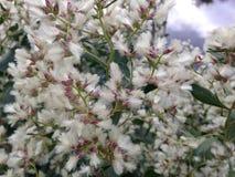 BaccharisHalimifolia växt i nedgången Fotografering för Bildbyråer