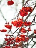 Bacche americane rosse della cenere di montagna (sorba) Fotografia Stock