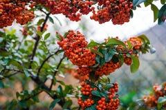 Bacche arancio di Firethorn del Pyracantha della sorba con le foglie verdi Fotografia Stock