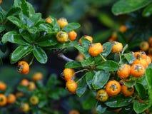 Bacche arancio dopo la pioggia Immagine Stock
