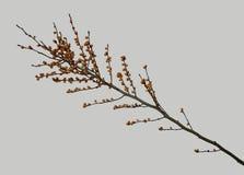 Bacche arancio sul ramo Fotografie Stock