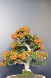 Bacche arancioni. Fotografie Stock Libere da Diritti