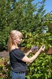 Bacche attraenti di raccolto della donna Fotografie Stock