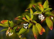 Bacche bianche su un ramo di un cespuglio Fotografie Stock