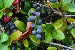 Bacche blu Fotografia Stock Libera da Diritti