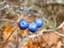 Bacche blu Immagini Stock