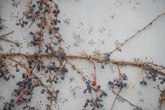 Bacche blu dell'uva selvaggia su una parete grigia Un modello interessante dei rami immagine stock libera da diritti