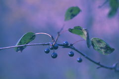 Bacche blu selvatiche immagini stock libere da diritti