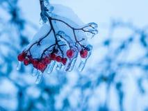 Bacche con neve e ghiaccio nell'inverno Fotografie Stock