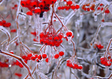 Bacche congelate Fotografie Stock