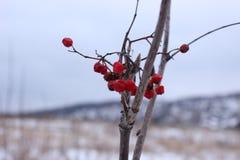 Bacche congelate su un albero immagine stock libera da diritti