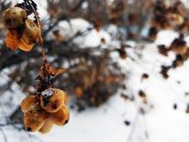 Bacche congelate su un cespuglio nell'inverno contro lo sfondo di neve immagine stock