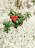 Bacche dei agains non maturi di un'uva di monte il muschio di una renna Fotografia Stock