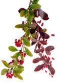 Bacche del crespino Fotografie Stock