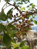 Bacche del pistacchio selvaggio Immagini Stock