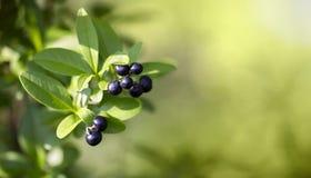 Bacche del prugnolo - antiossidante naturale fotografia stock