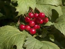 Bacche del viburnum rosso Fotografia Stock Libera da Diritti