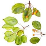 Bacche dell'arancio di autunno Fotografia Stock