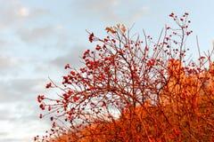 Bacche dell'ibisco Fotografia Stock