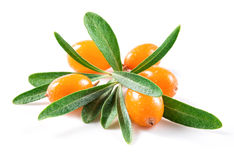 Bacche dell'olivello spinoso Fotografia Stock
