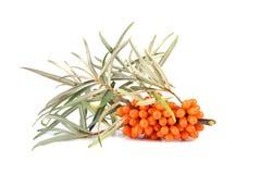 Bacche dell'olivello spinoso Immagini Stock Libere da Diritti