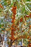 Bacche dell'olivello spinoso sui rami con le foglie immagine stock