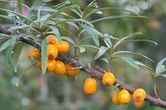 Bacche dell'olivello spinoso in un albero Fotografia Stock