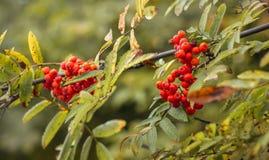 Bacche della cenere e delle foglie di montagna su un albero su un backgro confuso Immagine Stock
