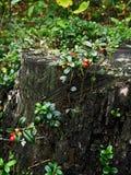 Bacche della foresta Immagini Stock Libere da Diritti